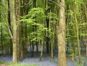 Bluebell Walk, Hinton Ampner